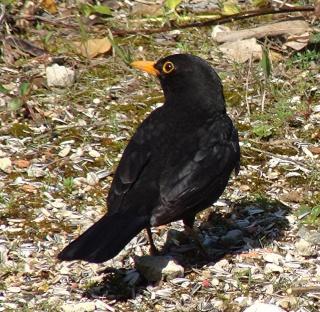 Les oiseaux du jardin (28 espèces d'oiseaux observées pour vous) Dsc04710