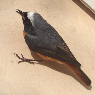 Les oiseaux du jardin (28 espèces d'oiseaux observées pour vous) Dsc05110