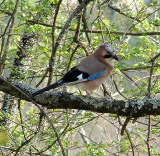 Les oiseaux du jardin (28 espèces d'oiseaux observées pour vous) Dsc05111