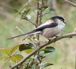 Les oiseaux du jardin (28 espèces d'oiseaux observées pour vous) Dsc05311