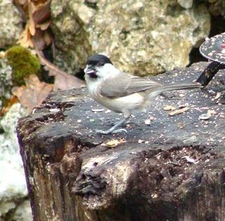 Les oiseaux du jardin (28 espèces d'oiseaux observées pour vous) Dsc05312