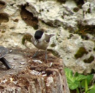 Les oiseaux du jardin (28 espèces d'oiseaux observées pour vous) Dsc05510