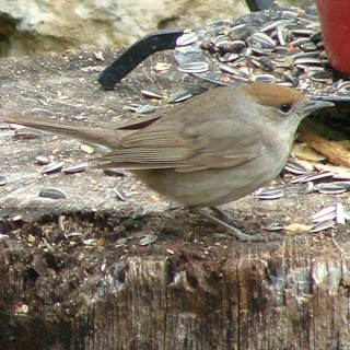 Les oiseaux du jardin (28 espèces d'oiseaux observées pour vous) Dsc05610