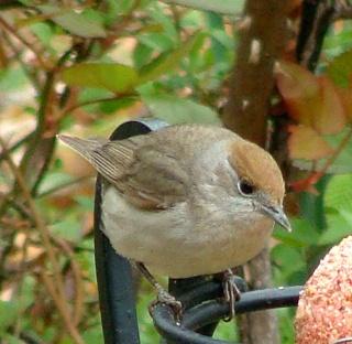 Les oiseaux du jardin (28 espèces d'oiseaux observées pour vous) Dsc05611