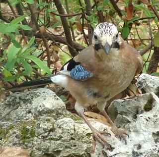 Les oiseaux du jardin (28 espèces d'oiseaux observées pour vous) Dsc05612