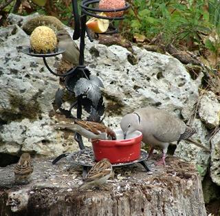 Les oiseaux du jardin (28 espèces d'oiseaux observées pour vous) Dsc05710