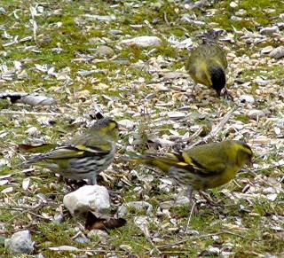Les oiseaux du jardin (28 espèces d'oiseaux observées pour vous) Dsc06210