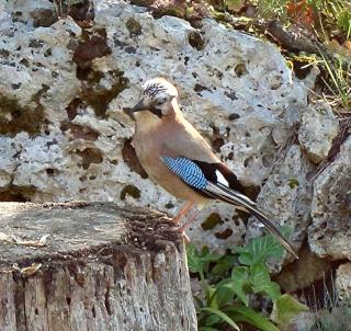 Les oiseaux du jardin (28 espèces d'oiseaux observées pour vous) Dsc06310
