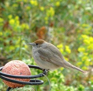 Les oiseaux du jardin (28 espèces d'oiseaux observées pour vous) Dsc06410
