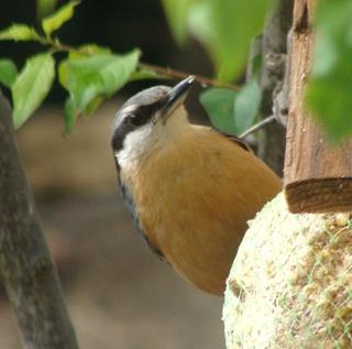 Les oiseaux du jardin (28 espèces d'oiseaux observées pour vous) Dsc06610