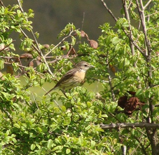 Les oiseaux du jardin (28 espèces d'oiseaux observées pour vous) Dsc06612