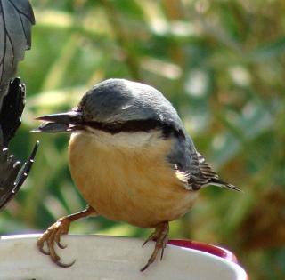 Les oiseaux du jardin (28 espèces d'oiseaux observées pour vous) Dsc06710