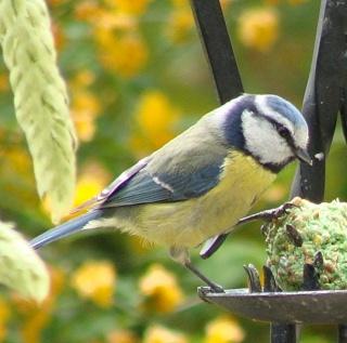 Les oiseaux du jardin (28 espèces d'oiseaux observées pour vous) Dsc06910