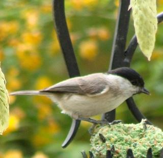 Les oiseaux du jardin (28 espèces d'oiseaux observées pour vous) Dsc06911