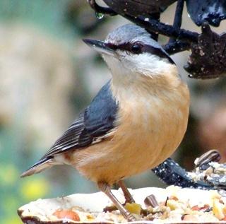 Les oiseaux du jardin (28 espèces d'oiseaux observées pour vous) Dsc07110