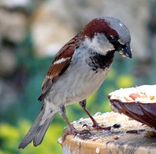 Les oiseaux du jardin (28 espèces d'oiseaux observées pour vous) Dsc07111