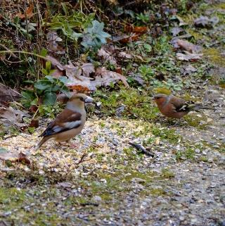 Les oiseaux du jardin (28 espèces d'oiseaux observées pour vous) Dsc_0210
