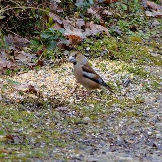 Les oiseaux du jardin (28 espèces d'oiseaux observées pour vous) Dsc_0310