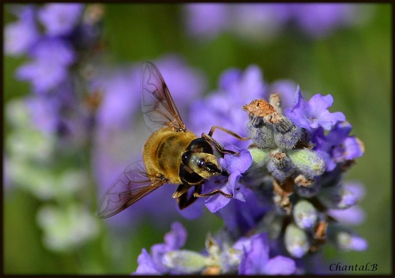 une abeille en mode travail 1610