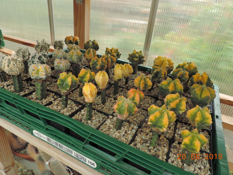 Cacti and Sukkulent in Köln, every day new flowers in the greenhouse Part 198 Bild1026