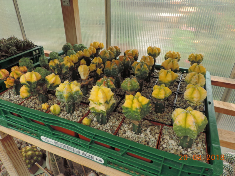 Cacti and Sukkulent in Köln, every day new flowers in the greenhouse Part 198 Bild1028