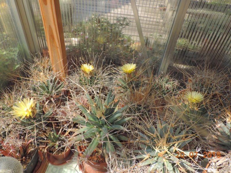 Cacti and Sukkulent in Köln, every day new flowers in the greenhouse Part 198 Bild1030