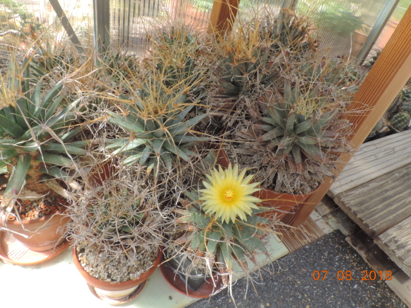 Cacti and Sukkulent in Köln, every day new flowers in the greenhouse Part 198 Bild1034