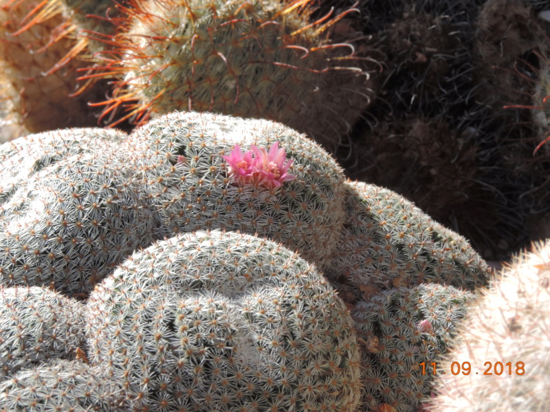 Cacti and Sukkulent in Köln, every day new flowers in the greenhouse Part 199 Bild1039