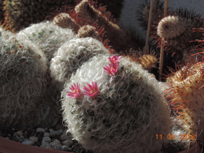 Cacti and Sukkulent in Köln, every day new flowers in the greenhouse Part 199 Bild1043