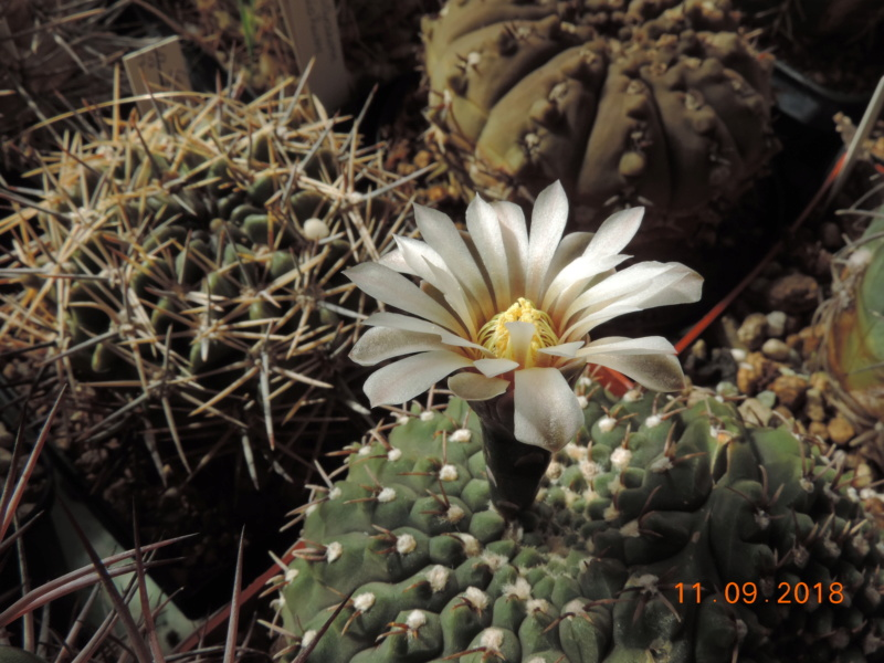 Cacti and Sukkulent in Köln, every day new flowers in the greenhouse Part 199 Bild1047