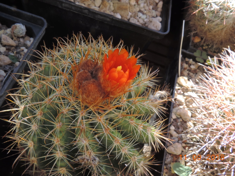 Cacti and Sukkulent in Köln, every day new flowers in the greenhouse Part 199 Bild1056