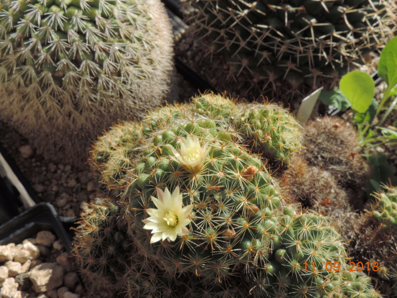 Cacti and Sukkulent in Köln, every day new flowers in the greenhouse Part 199 Bild1059