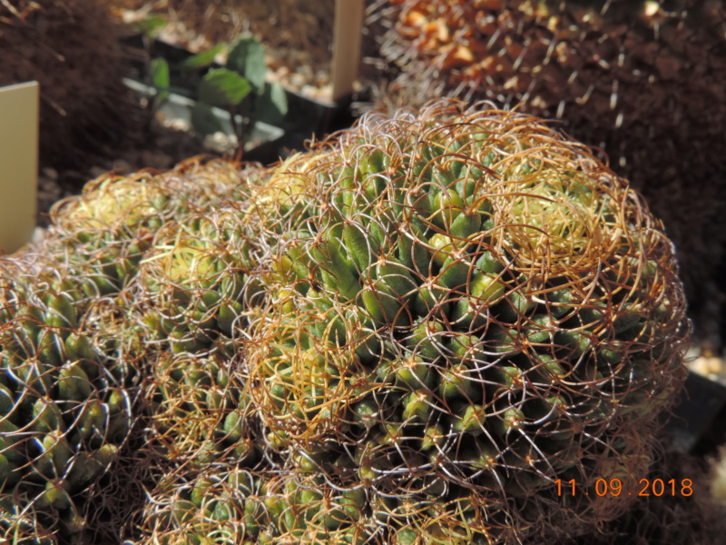 Cacti and Sukkulent in Köln, every day new flowers in the greenhouse Part 199 Bild1060