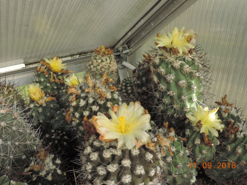 Cacti and Sukkulent in Köln, every day new flowers in the greenhouse Part 199 Bild1064