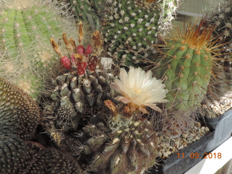 Cacti and Sukkulent in Köln, every day new flowers in the greenhouse Part 199 Bild1071