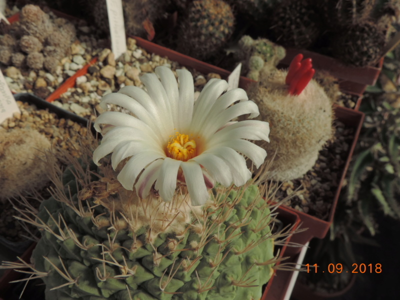 Cacti and Sukkulent in Köln, every day new flowers in the greenhouse Part 199 Bild1072