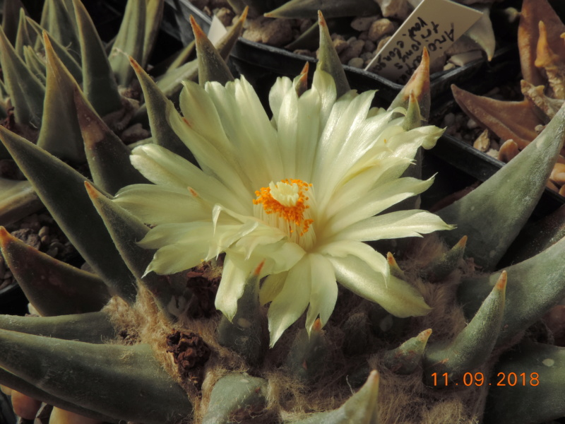 Cacti and Sukkulent in Köln, every day new flowers in the greenhouse Part 199 Bild1075