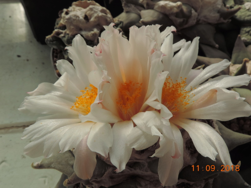 Cacti and Sukkulent in Köln, every day new flowers in the greenhouse Part 199 Bild1080