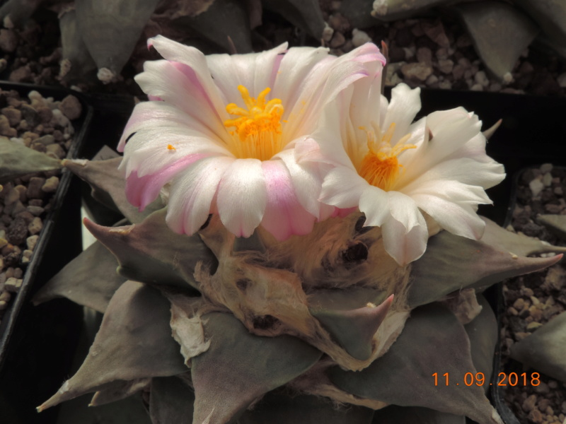 Cacti and Sukkulent in Köln, every day new flowers in the greenhouse Part 199 Bild1081
