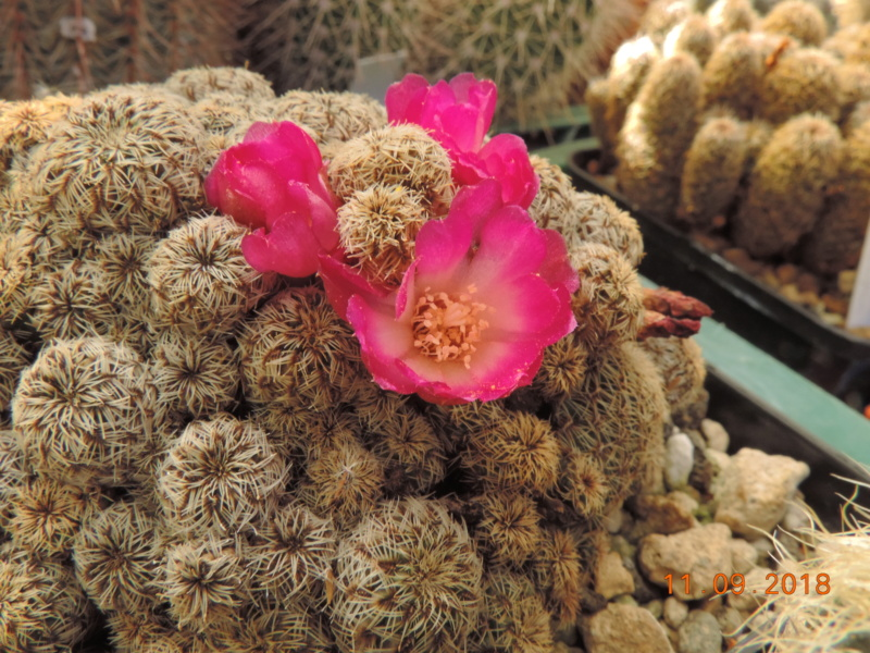 Cacti and Sukkulent in Köln, every day new flowers in the greenhouse Part 199 Bild1084