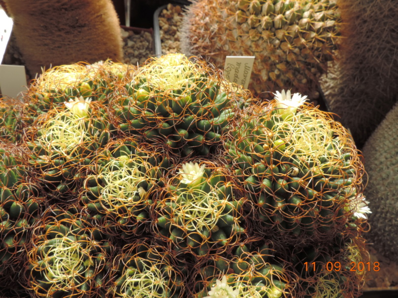 Cacti and Sukkulent in Köln, every day new flowers in the greenhouse Part 199 Bild1085