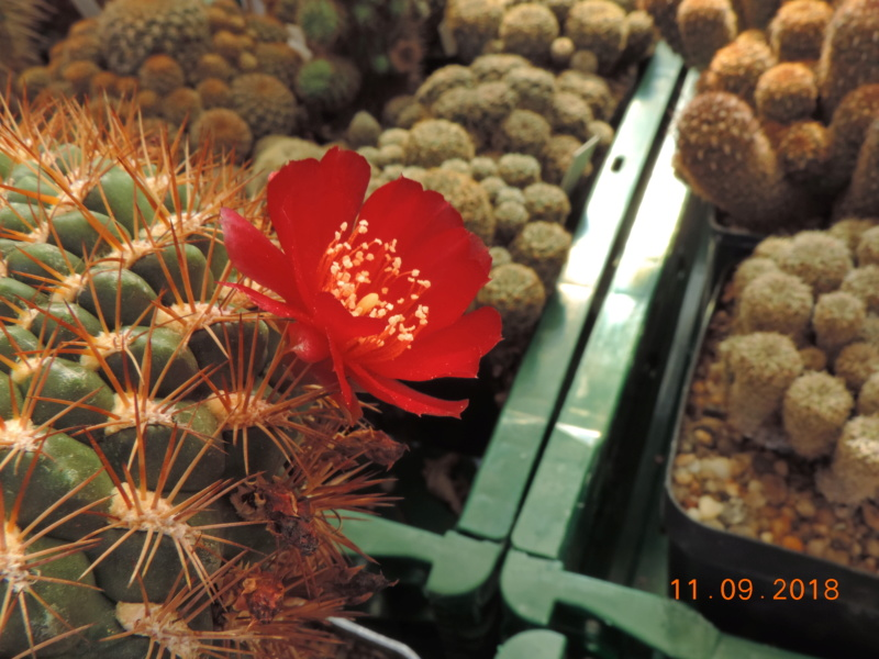 Cacti and Sukkulent in Köln, every day new flowers in the greenhouse Part 199 Bild1090