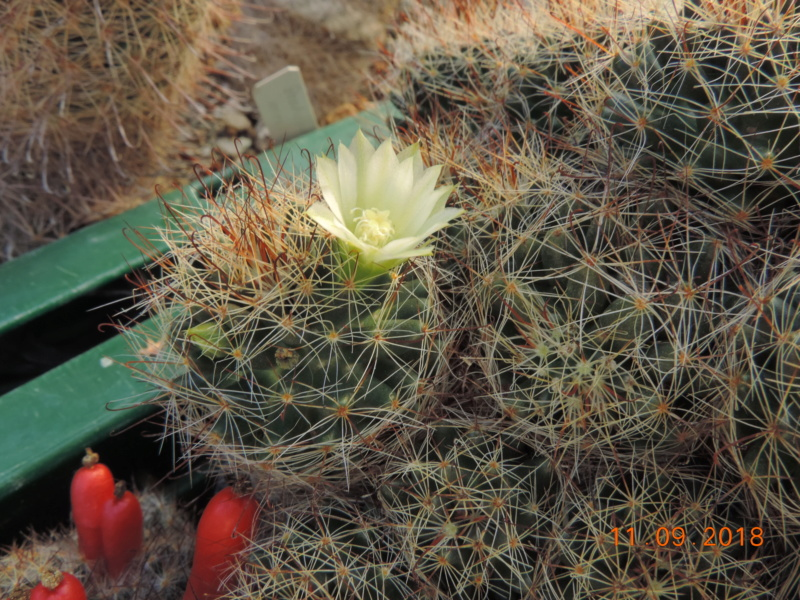 Cacti and Sukkulent in Köln, every day new flowers in the greenhouse Part 199 Bild1107