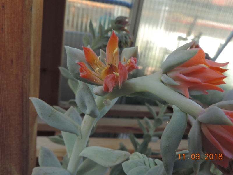 Cacti and Sukkulent in Köln, every day new flowers in the greenhouse Part 199 Bild1110