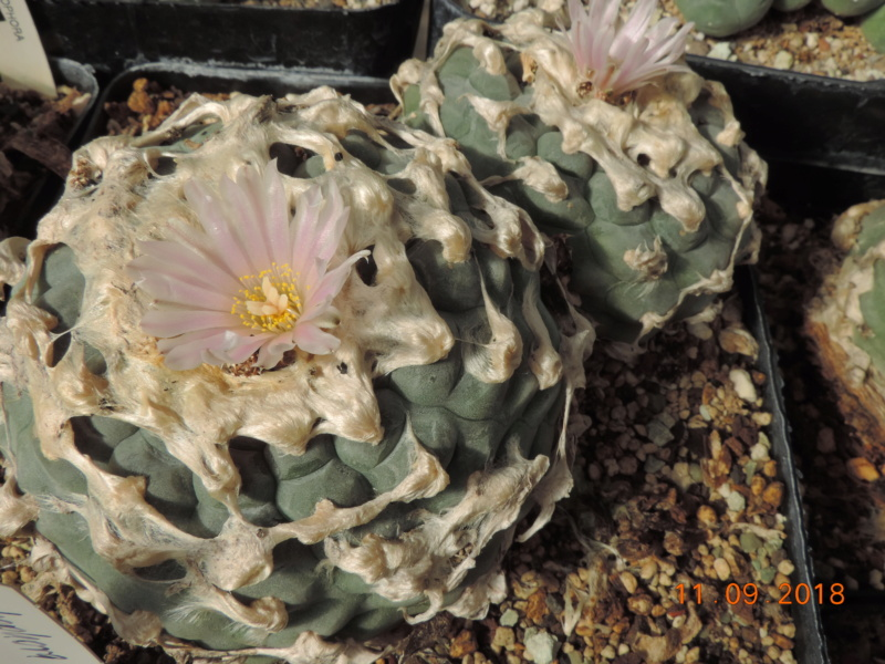 Cacti and Sukkulent in Köln, every day new flowers in the greenhouse Part 199 Bild1113