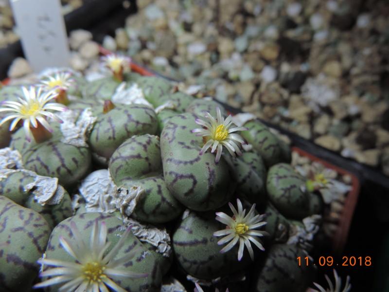 Cacti and Sukkulent in Köln, every day new flowers in the greenhouse Part 199 Bild1121