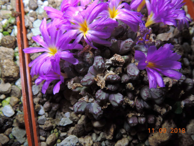 Cacti and Sukkulent in Köln, every day new flowers in the greenhouse Part 199 Bild1122
