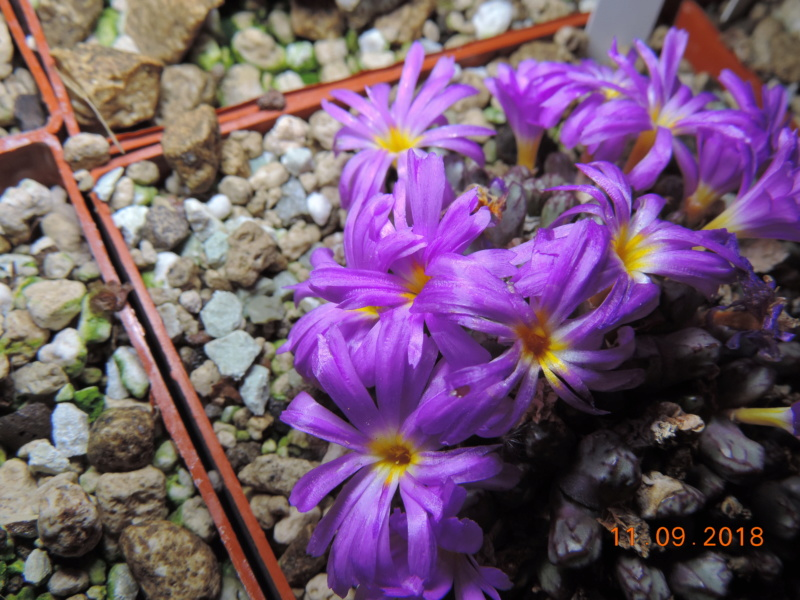 Cacti and Sukkulent in Köln, every day new flowers in the greenhouse Part 199 Bild1125