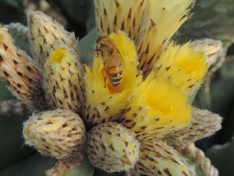 Cacti and Sukkulent in Köln, every day new flowers in the greenhouse Part 199 Bild1141