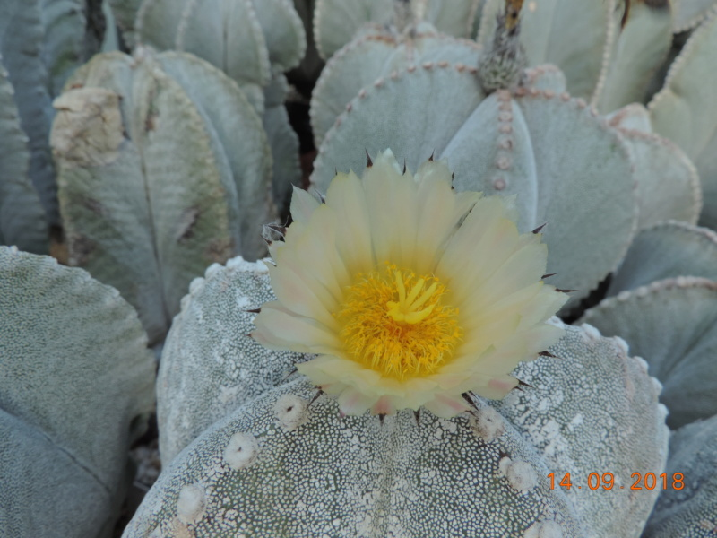 Cacti and Sukkulent in Köln, every day new flowers in the greenhouse Part 199 Bild1145